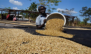coffee beans from south sudan being put out to dry