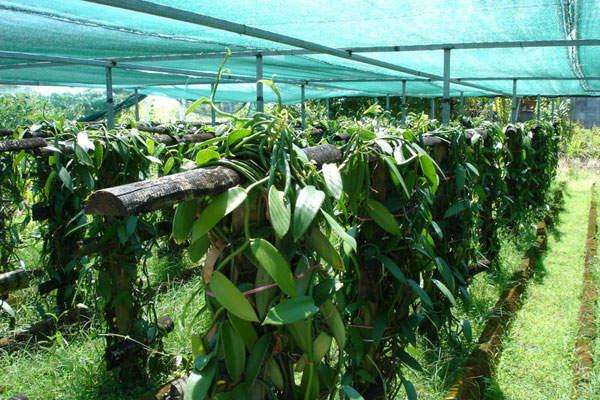 Madagascar is the world's largest producer of vanilla. Image courtesy of Bouba.