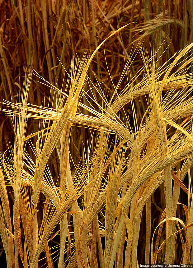 Appomattox Bio Energy is a new barley protein meal (BPM) plant under construction in Virginia, USA.