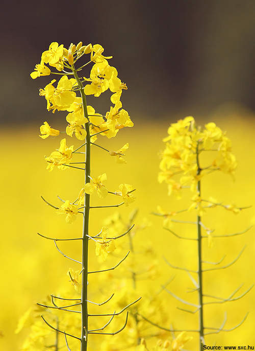 The PICO canola plant, which is located in Hallock, Minnesota, US, will produce RBD food grade oil.