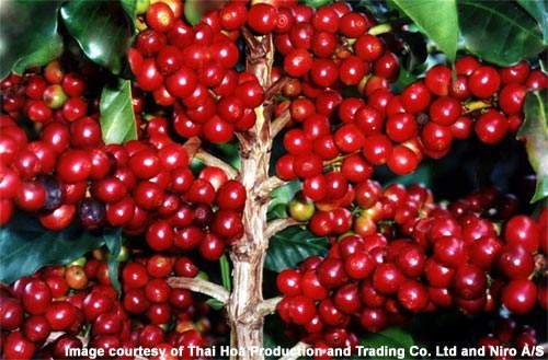 Ripe Arabica coffee cherries ready for picking.