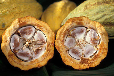 Cocoa beans in pods.