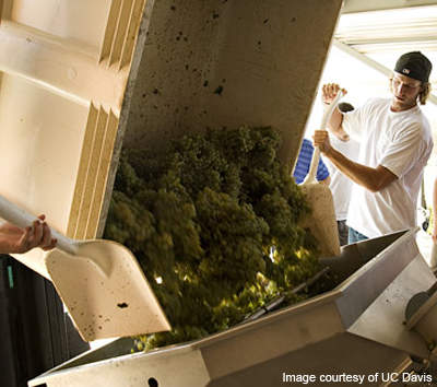 Crushing of the grapes for winemaking in the new winery. (Photo by Karin Higgins)