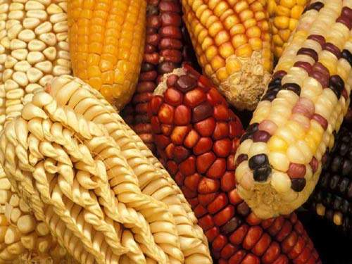 Maize can be converted into corn starch, fructose or bioethanol and production can be tailored to suit market requirements and sugar quotas.