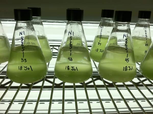 The expansion was proposed to facilitate large-scale production of omega-3 fatty acid oils. Image courtesy of Algae Biosciences.