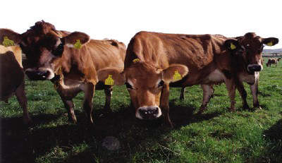 The Jersey herd is important to keep up the richness of the milk and cream used.