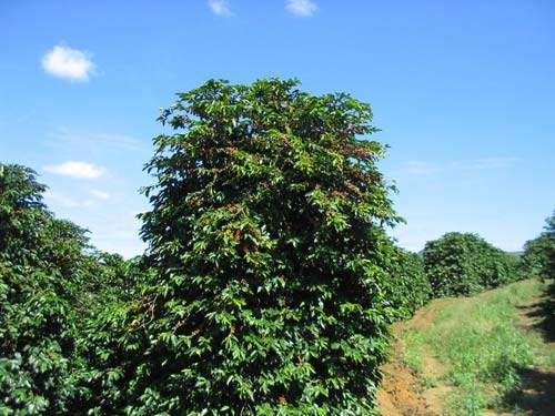 Coffee tree with beans ready to harvest; Vittoria Coffee is now the largest pure coffee producer in Australia.