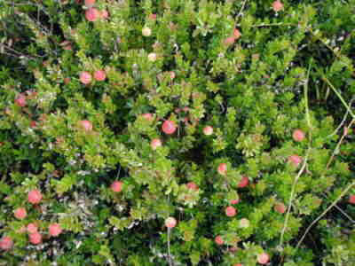 Cranberries growing on the bush.