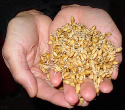 The malted grain.