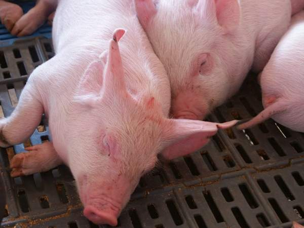 Copercampos will supply pigs sourced from growers in the region. Image courtesy of Copercampos.