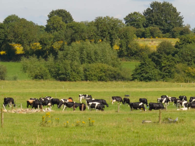 Ireland has approximately 18,000 dairy farmers and 1.2 million dairy cows. Image courtesy of The Irish Farmers Association.