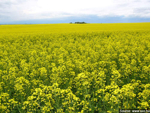 Demand for canola oil is growing because of the increase in consumption per capita, the rise in the use of renewable fuels and the growth in population.