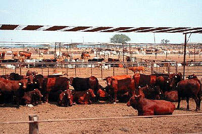The Five Rivers feed yards owned by Conti and Smithfield currently have over 800,000 head of cattle.