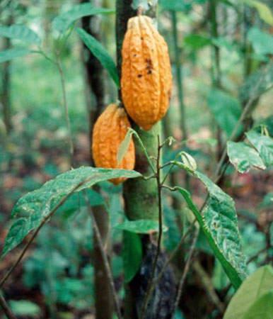 Cocoa bean pod prior to harvesting.