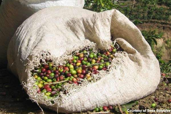 Fresh coffee beans from Guatemala.