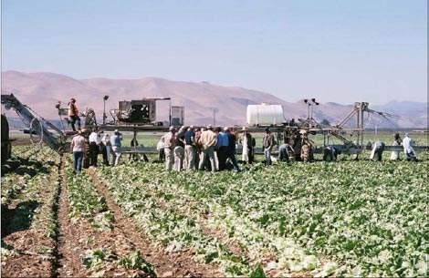 Lettuce harvesting.