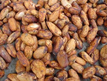 Cocoa beans ready for grinding and extraction.