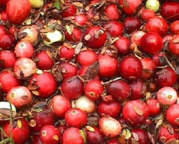 Fresh cranberries picked, washed and ready for processing/sorting.