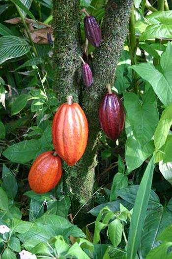 Cacao has to be imported and is then combined with local milk.