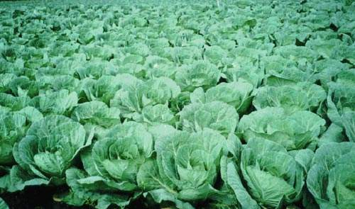 Cabbages ready for the harvest.