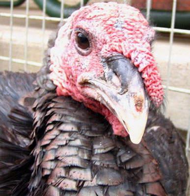 A turkey raised in South Dakota.