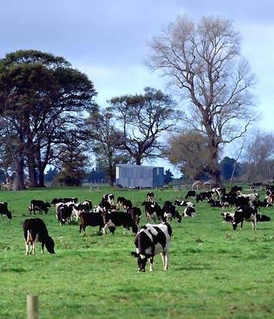 Fonterra Friesian cows.