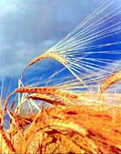 Two-row barley.