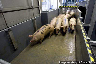 Pigs are kept in a lairage system before being guided into stunning pens for slaughter.
