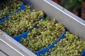 green grapes on a conveyor