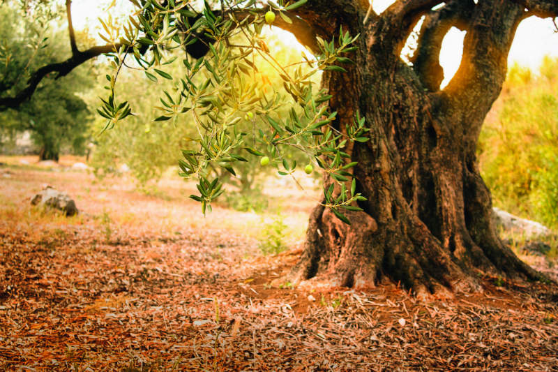 Sow the seeds: utilising the whole olive