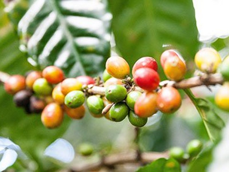 Nestlé will source raw materials for the new coffee processing plant from local coffee producers in Veracruz. Image: © 2019 Nestlé.