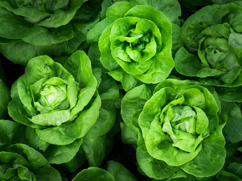 Little Leaf Farms supplies its greenhouse-grown baby green lettuce. Credit: Agence Producteurs Locaux Damien Kühn on Unsplash.