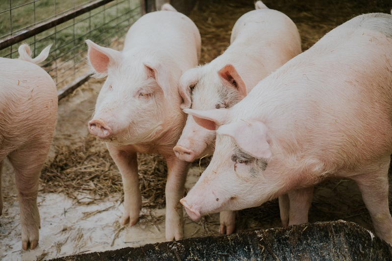 Cranswick Pigs