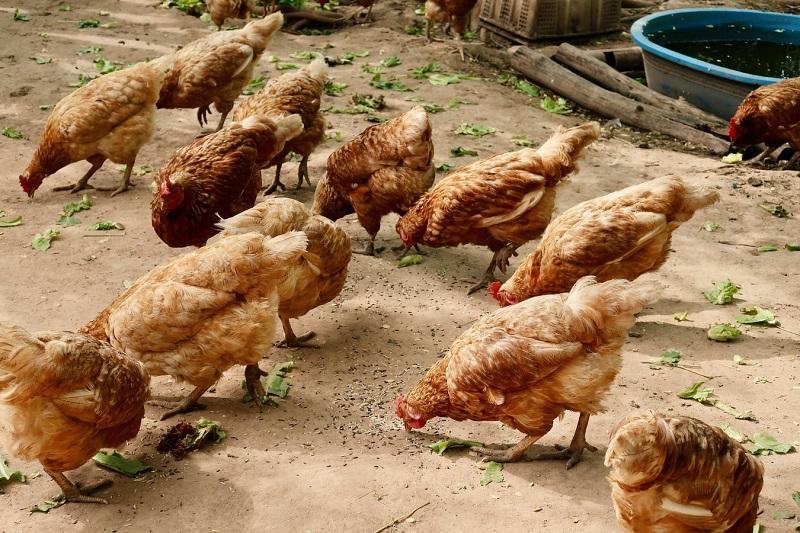 Philippines chicken imports