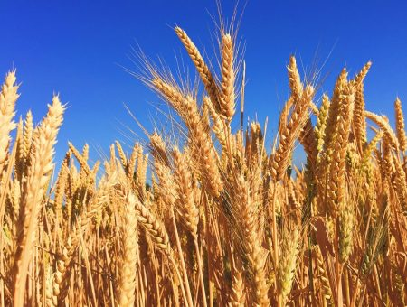 HOCHDORF to discontinue wheat germ production at headquarters