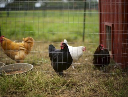 Netherlands culls 190,000 chickens after bird flu outbreak
