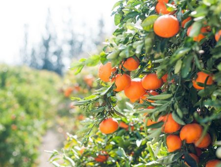 Costa Group to acquire farming operations of KW Orchards' citrus farm