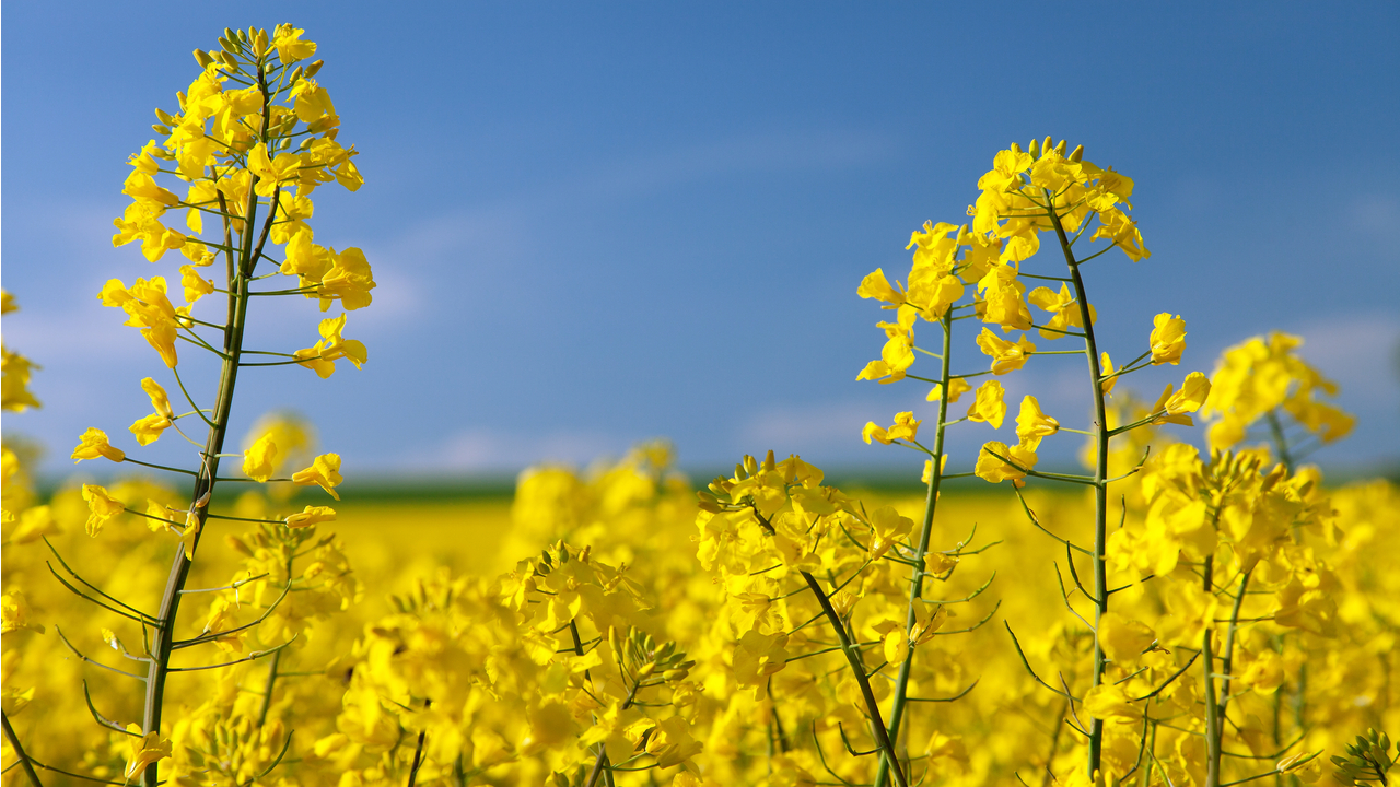 Richardson's Yorkton canola crush plant currently processes more than one million metric tonnes of canola annually. Credit: Piece of Cake / Shutterstock.