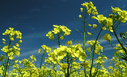 Canada is one of the biggest canola growing regions in the world